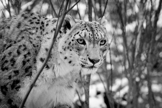 snowleopardcentralparkzoonyc